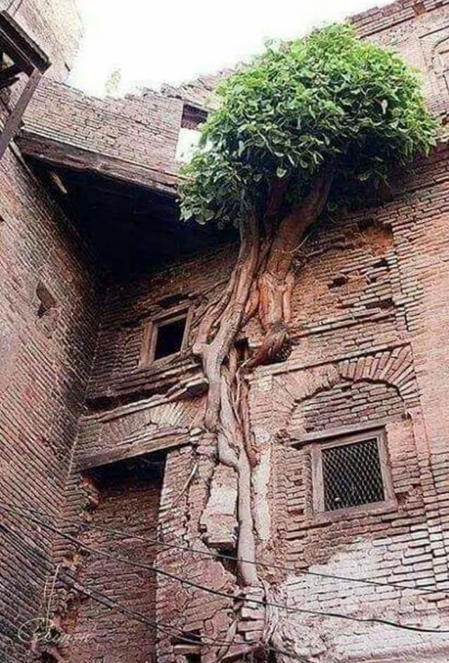 Дерево срослось с брошенным домом (Пакистан)
