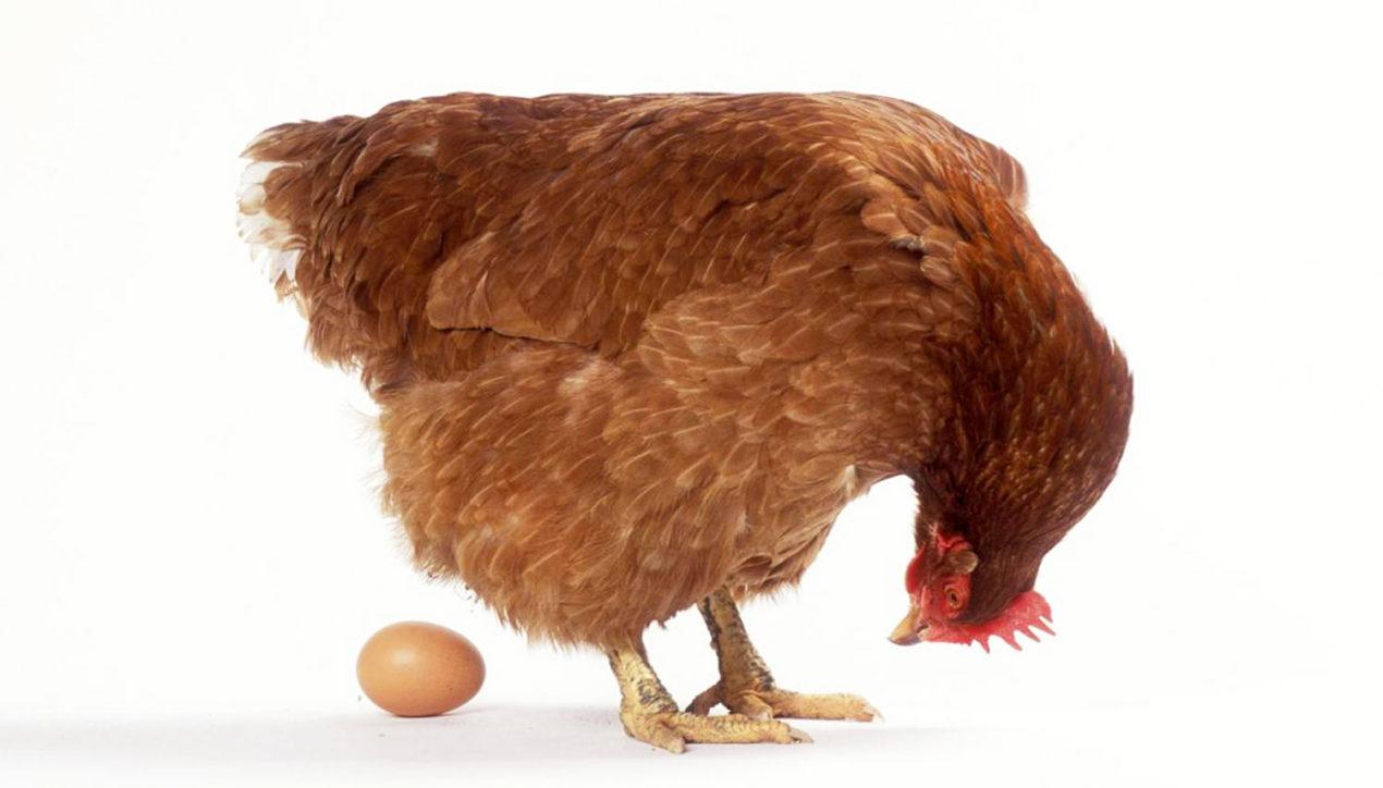 Как делают яйца